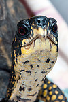 Eastern box turtle, close-up neck and face, vertical.