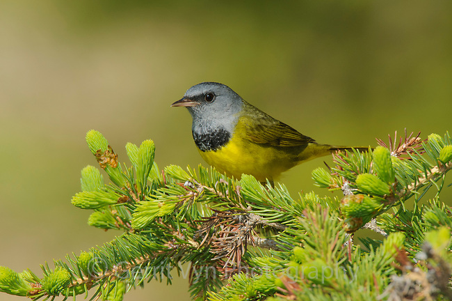 Adult male Mourning Warbler (Oporornis philadelphia) in breeding plumage. Alberta, Canada. May.