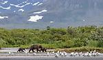 USA, Alaska, Katmai National Park , brown bear (Ursus arctos), sockeye salmon (Oncorhynchus nerka)