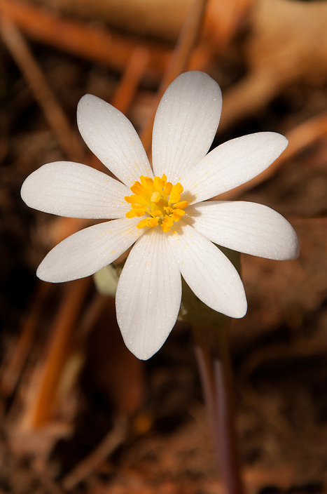 A picture perfect portrait of a single Bloodroot blossom.