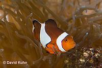0321-1117  False Percula Clownfish (Ocellaris Clownfish), Amphiprion ocellaris, with Bulb-tipped Anemone, Entacmaea quadricolor  © David Kuhn/Dwight Kuhn Photography