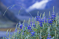 Violets (Violaceae) with the peaks of the Cordillera Huayhuash mountain range, Andes, Peru, South America