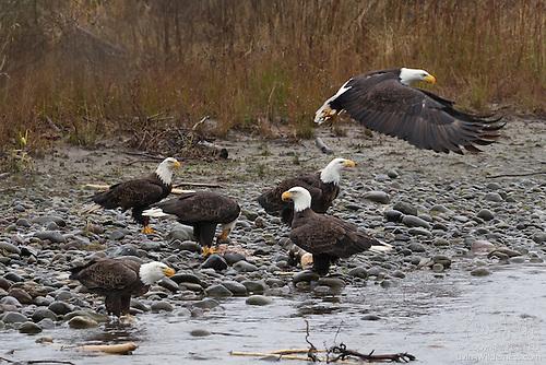 Bald Eagles Feasting Along Nooksack River, Washington