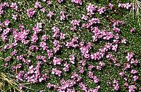 Stängelloses Leimkraut, Polsternelke, Polster-Nelke, Stengelloses Leimkraut, Stängelloses Leinkraut, Stengelloses Leinkraut, Silene acaulis, moss campion, Cushion Pink