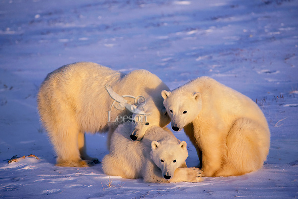 Polar bear (Ursus maritimus) family--mother with two second year cubs.  Hudson Bay, Canada.  November.