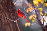 With winter slowly edging in over fall, a male cardinal alights on a branch bearing beads of frozen rain, foreshadowing the cold months to come.