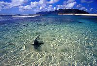 Reef shark swimming in shallow waters off white sand beach, Niihau, Hawaii
