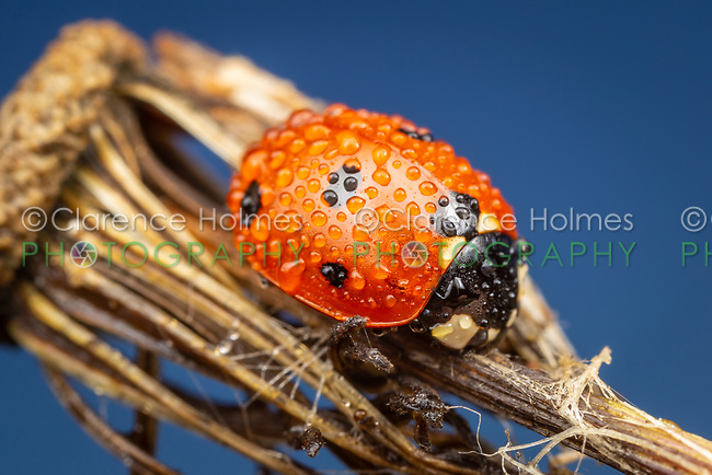 A dew-covered Seven-spotted Lady Beetle (Coccinella septempunctata) perches on Fireweed (Erechtites hieraciifolius) in the early morning.