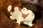 Juvenile warty or clown frogfish (Antennarius maculatus) on a sponge.