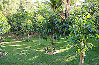 Coffee tree orchard for Kaleo's Koffee in Pa'auilo Mauka in Hamakua on the Big Island.