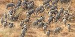 Central Africa aerial, African bush elephants (Loxodonta africana)