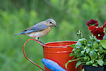 Female eastern bluebird perched on watering can