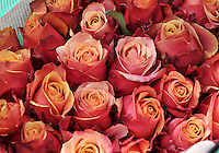 FACATATIVA - COLOMBIA- 29-01-2014: Llega febrero y los floricultores colombianos tienen la gran oportunidad de iniciar el año con el pie derecho gracias al día de San Valentín que es por excelencia el día de los enamorados en Estados Unidos y Europa. Por estos días en Elite Flowers en la Sabana de Bogotá trabajan a todo marcha para surtir el mercado, para este año en el cual esperan incrementar sus ventas en 12% respecto al año anterior. February is coming and colombian growers have a big opportunity to start this year so well thanks to the quintessential Valentine's Day in USA and Europe. For these days in Elite Flowers in the Sabana of Bogota flowers plantations are working full time to fill the market for this year and increase their sales by 12% compared to last year. Photos: VizzorImage / Luis Ramírez / Staff.