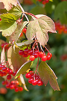 Gemeiner Schneeball, Früchte, Viburnum opulus, European Cranberrybush, Guelder Rose