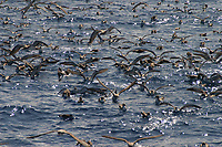bird flock, Cory's Shearwater, Calonecctris diomedea borealis, Azores Islands, Portugal, North Atlantic