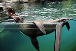 NEW YORK, NY - JULY 29: A view of a Sea Lion playing in the water as the New York Yankees Honor John Lahutsky during HOPE Week Event 2011 at Central Park Zoo on July 29, 2011 in New York City.  (Photo by Desiree Navarro/WireImage)