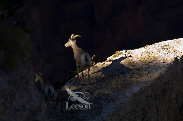 Desert Bighorn Sheep--ewe with lambs.  Grand Canyon National Park, Arizona.