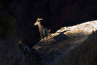 Desert Bighorn Sheep--ewe with lambs.  Grand Canyon National Park, Arizona.