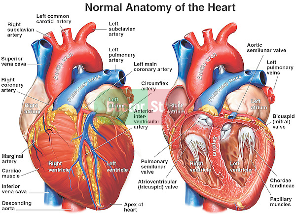 Normal Anatomy of the Heart. This full color, two-part medical illustration pictures the following cardiac structures:  left and right atria, left and right ventricles, ventricular papillary muscles, chordae tendineae, bicuspid valves, tricuspid valves, aortic semilunar valves, coronary arteries,  superior and inferior vena cava, brachiocephalic vein, pulmonary trunk, pulmonary artery, and subclavian artery.
