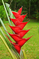 Red lobster claw heliconia, North Shore, O'ahu.
