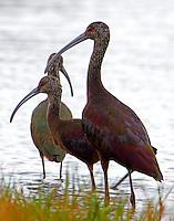 Trio of white-faced ibises in winter plumage