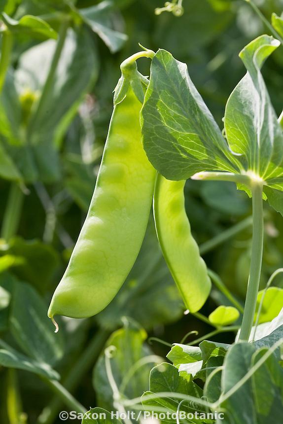 Sugar snap peas edible vegetable growing in garden
