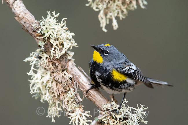 """Audubon's Yellow-rumped Warbler (Setophaga coronata). Oregon. May."