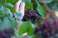 Holunder-Ernte, Holunderernte, Fliederbeer-Ernte, Fliederbeerernte, Schwarzer Holunder, Holunder, Frucht, Früchte, Fliederbeeren, Fliederbeere, Beere, Beeren, Sambucus nigra, Elder, Common Elder, Elderberry, European elder, European elderberry, fruit, berry, berries, harvest, crop, Le Grand Sureau, le Sureau commun, le Sureau noir