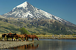 Horses drink by the  Lanin  volcano, Argentina