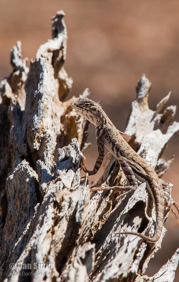 Common Zebra-tailed Lizard, Callisaurus draconoides draconoides, in Saguaro National Park, Arizona