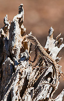 Common Zebra-tailed Lizard, Callisaurus draconoides draconoides, in Saguaro National Park, Arizona