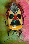 Man-faced beetle, Malaysia