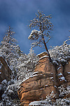 Ridgetop Pine, Oak Creek Canyon, Arizona
