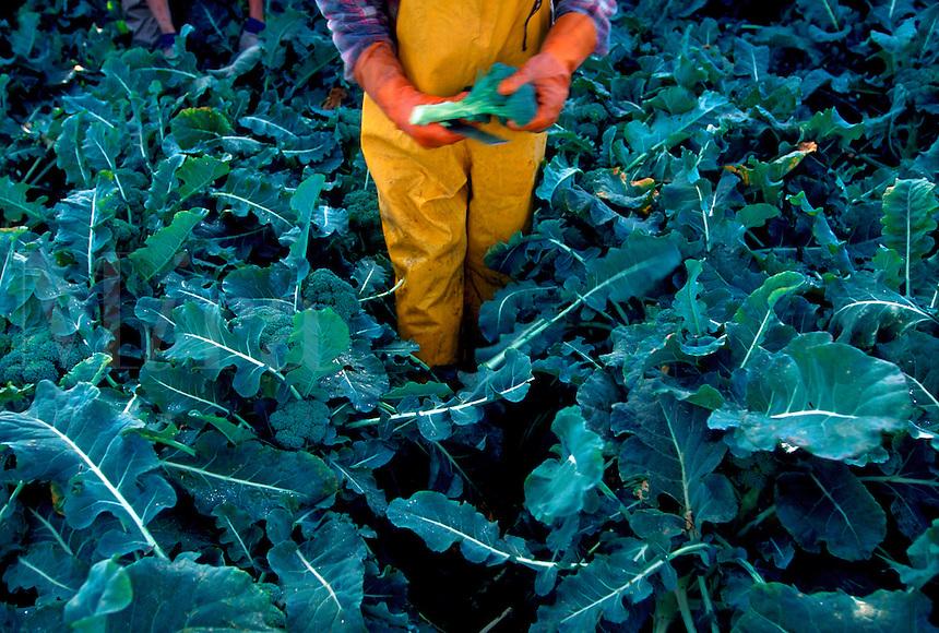 Migrant worker picking broccoli near King City, California