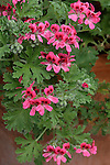 RED-FLOWERED SCENTED GERANIUM, GERANIUM HYBRID