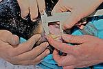 Measuring Teeth Of Black Bear