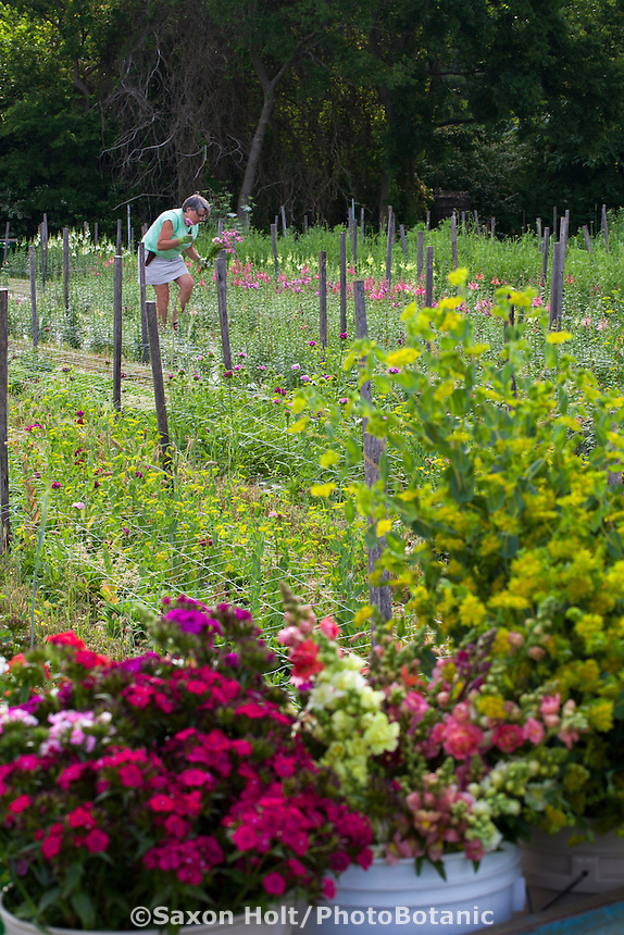 flower farmer Lisa Ziegler  of Gardeners Workshop harvesting cool season annual flowers
