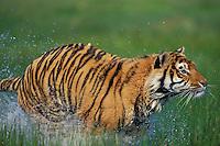 Bengal Tiger (Panthera tigris).  Endangered Species.