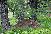 Waldameise, Waldameisen, Ameisenhaufen, Ameisenhügel, Ameisennest, Formica spec., wood ant, Wood Ants, anthill, formicary