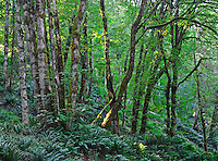 Section of forest with ferns along the Elwha River Valley, by Olympic Hot Springs Road, Olympic National Park, Washington State.
