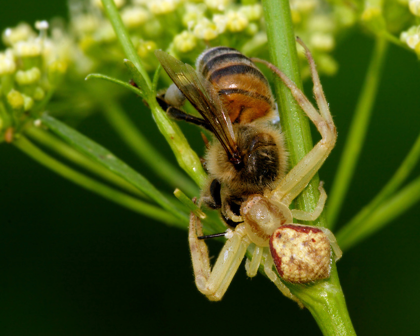 Crab spiders are not active hunters. They make more use of camouflage techniques than other spiders, and catch their prey with their front legs.