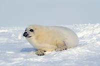 harp seal, Pagophilus groenlandicus, pup laying on Ice floe, Magdalen Islands, Quebec, Canada, Gulf of Saint Lawrence, Atlantic Ocean