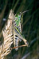 Schwarzfleckiger Grashüpfer, Gefleckter Heidegrashüpfer, Schwarzfleckiger Heidegrashüpfer, Weibchen, Stenobothrus nigromaculatus, Chorthippus nigromaculatus, female, ténobothre bourdonneur, Criquet bourdonneur