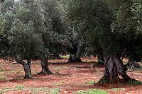 Puglia Alberi di olivo Italy Puglia olive tree, olives<br /> <br /> Italie Pouilles olivier, l'olive