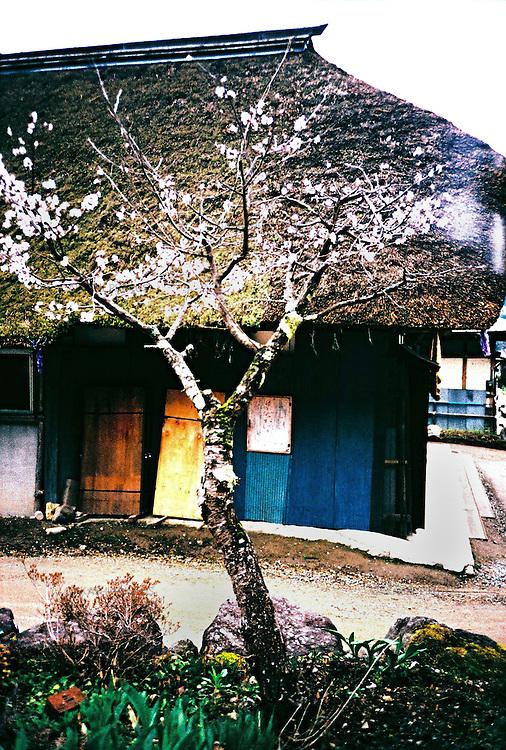 A traditional Japanese thatched roof house and cherry blossom in Ouchijuku, Japan. Ouchijuku is a village that has been carefully restored to look like it used to be in the Edo period. It is famous for its long street with thick thatched roof houses, most of them being shops, restaurants or minshukus (family run inns). <br /> <br /> Une maison japonaise traditionnelle au toit de chaume et une fleur de cerisier à Ouchijuku, au Japon. Ouchijuku est un village qui a été soigneusement restauré pour ressembler à ce qu'il était à l'époque d'Edo. Il est célèbre pour sa longue rue avec ses maisons épaisses au toit de chaume, la plupart d'entre elles étant des magasins, des restaurants ou des minshukus (auberges familiales).