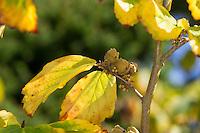 Herbstblühende Zaubernuss, Virginische Zaubernuss, Herbstblühende Zaubernuß, Virginische Zaubernuß, Virginischer Zauberstrauch, Frucht, Früchte, Hamamelis virginiana, Witch Hazel, Witch-Hazel, fruit