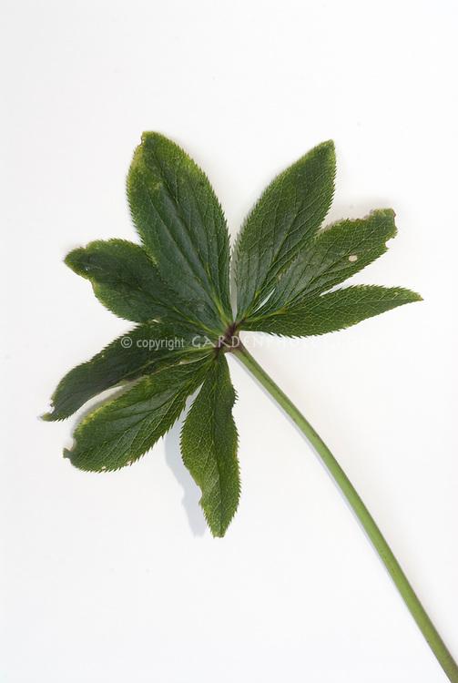 Helleborus Walberton's Rosemary leaf foliage hellebore