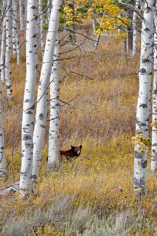 Black bear in aspen grove. Near Slide Inn, Montana