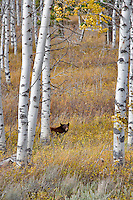 Black bear in aspen grove. Near Slide Inn, Montana