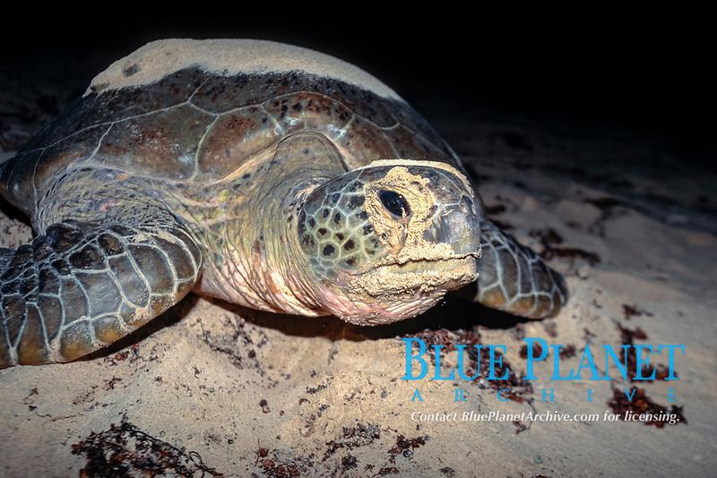 Nesting green sea turtle, Chelonia mydas, Cassini Island, Kimberly Coast, Western Australia, Indian